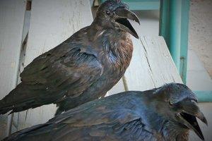 ahuyentar-cuervos