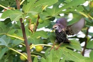 estorninos_comiendo_higos_birdgard_iberia