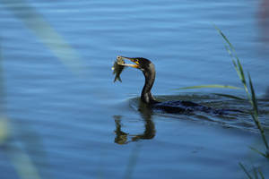 anti-cormoranes