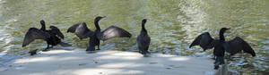 deshacerse de los cormoranes