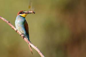 abejaruco-merops-apiaster