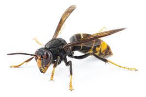 avispa-asiatica-vespa-velutina