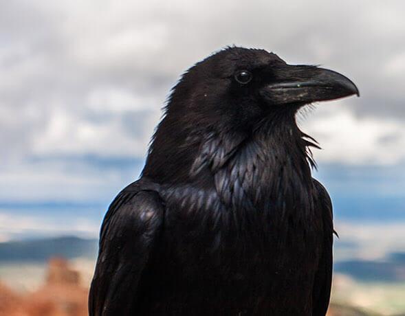como-deshacerse-de-los-cuervos